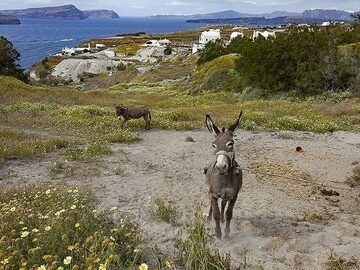 A donkey in front of the caldera of Santorini. (Photo: Tobias Schorr)