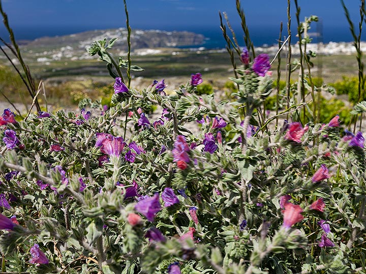 Red flowers in front of the Akrotiri peninsula. (Photo: Tobias Schorr)