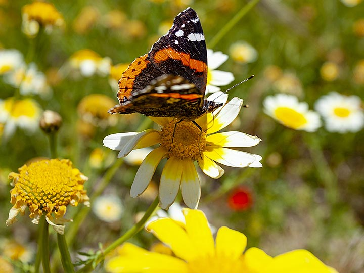 A butterlfy at ancient Thira. (Photo: Tobias Schorr)