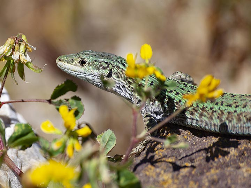 Wall lizard at ancient Thira. (Photo: Tobias Schorr)