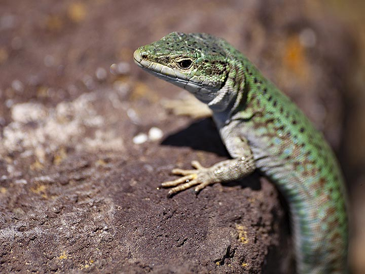 A wall lizard at old Thera. (Photo: Tobias Schorr)