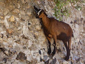 Goat at a rock wall. (Photo: Tobias Schorr)