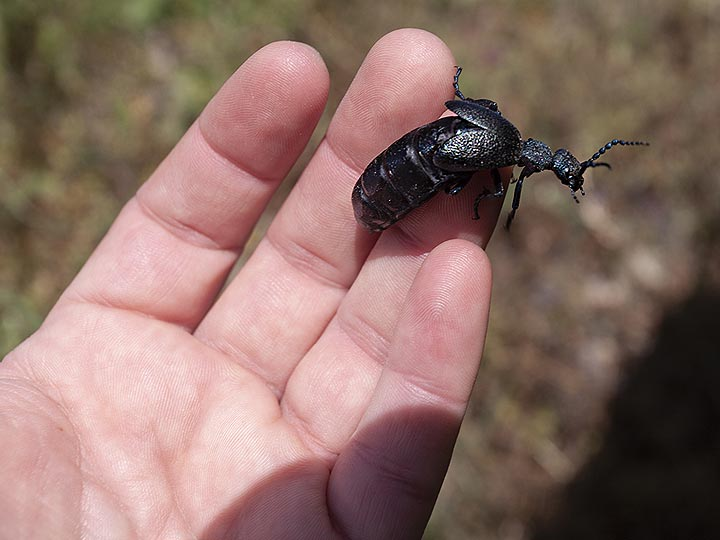Female beatle that is very rare to be found. (Photo: Tobias Schorr)