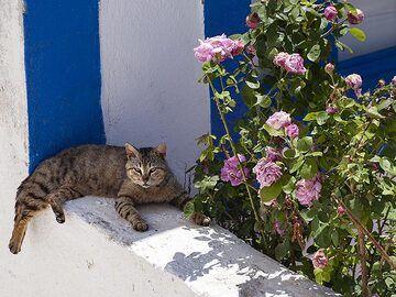 One cat on Thirasia island. (Photo: Tobias Schorr)