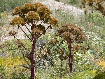 Fennel flowers at old Thera. (Photo: Tobias Schorr)