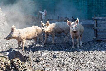Some of Sostis' pigs. (Photo: Tom Pfeiffer)