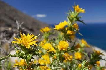 A yellow thistle at the caldera hiking path. (Photo: Tobias Schorr)