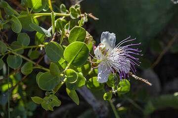 Caper flower (Photo: Tobias Schorr)