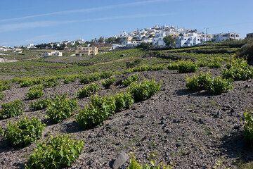 Vineyards below Pirgos village (Photo: Tom Pfeiffer)