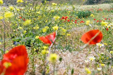 Red poppies and yellow spring flowers (Photo: Tom Pfeiffer)