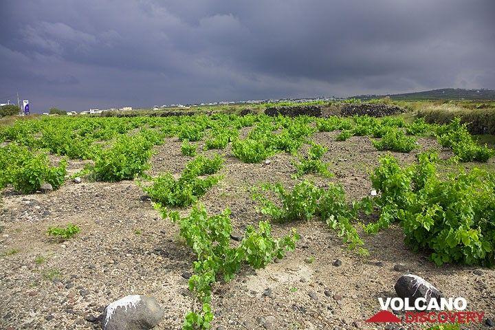 Wineyards near Akrotiri village (Photo: Tom Pfeiffer)