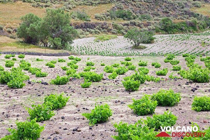 Rural landscape near Akrotiri. Vineyards and fava fields (Photo: Tom Pfeiffer)