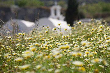 Spring-time meadow on Santorini (Photo: Tom Pfeiffer)