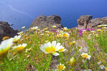 Daisies and the caldera near Akrotiri (Photo: Tom Pfeiffer)
