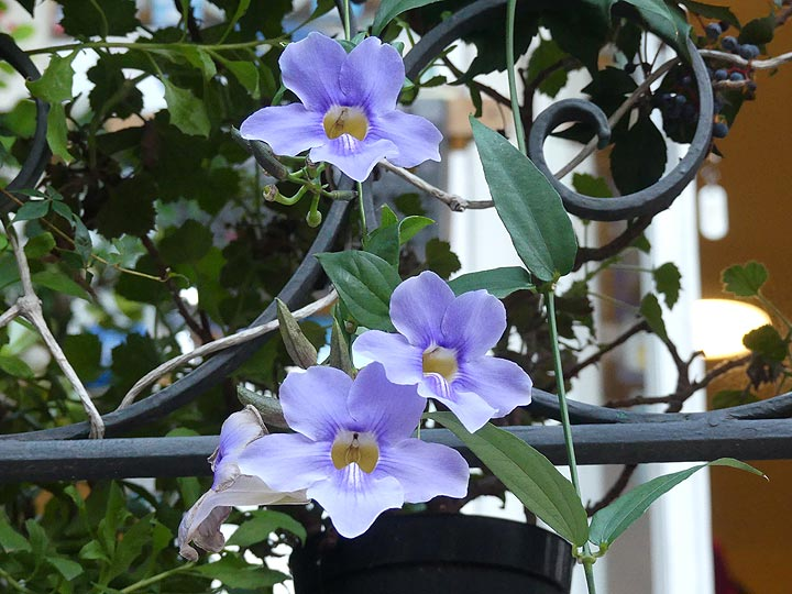 Purple flowers hanging from the gardens at our hotel. (Photo: Ingrid Smet)