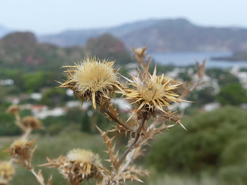 Dried thistles on the island of Vulcano. (Photo: Ingrid Smet)