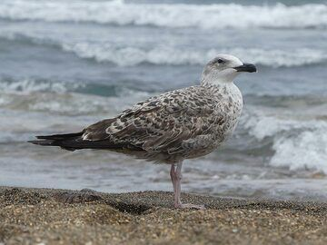 Seagull at a beach on Vulcano. (Photo: Ingrid Smet)