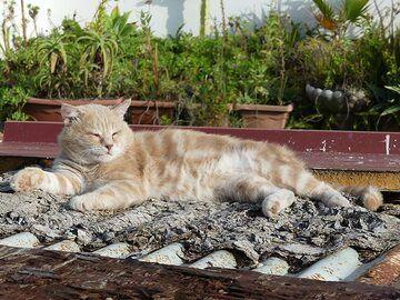 Lipari cat basking in the sun shine. (Photo: Ingrid Smet)