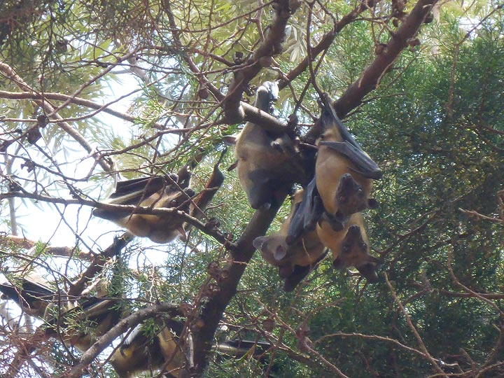 Day 1 - Hundreds of fruit bats hanging out in certain trees in Kigali (Photo: Ingrid Smet)