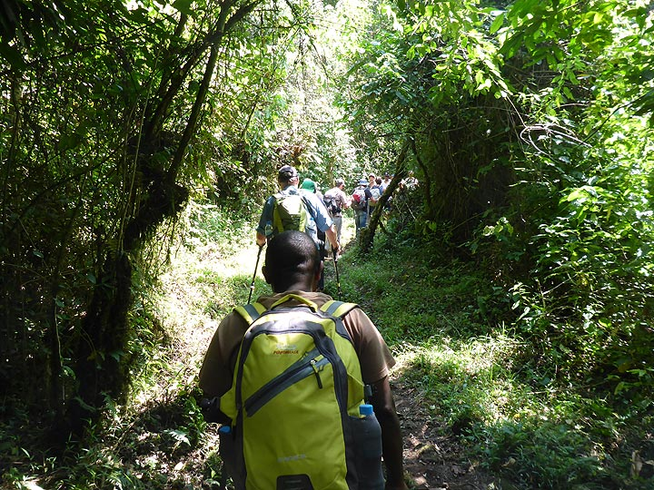 Day 3 - The first part of the hike up Nyiragongo (from 2000 to ca. 2250 masl) is mostly through shaded rain forest (Photo: Ingrid Smet)
