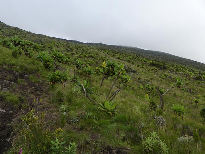 Day 3 - The last ca 200 m from the fourth resting point are straight up the steep upper slopes of the volcano´s summit - note the silhouettes of the huts which are the final destination  (Photo: Ingrid Smet)