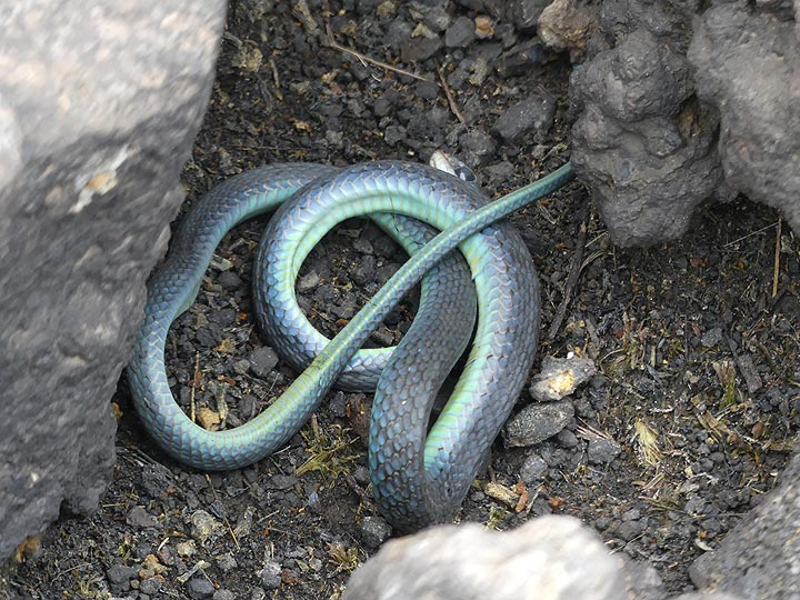 Day 5 - small (dead) snake that we discovered among the lava rocks on the caldera rim (Photo: Ingrid Smet)
