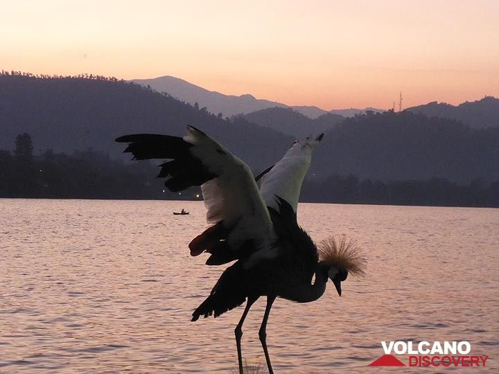 Day 7 - Dawn colours over lake Kivu - and one of the grey crowned cranes that are kept on the hotel grounds (Photo: Ingrid Smet)