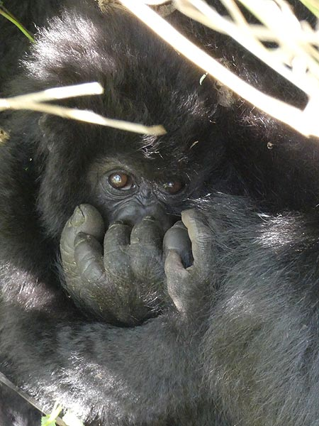 Day 7 - ...but the effort was all worth it when we got to see this baby gorilla hiding close to his/her mother! (Photo: Ingrid Smet)