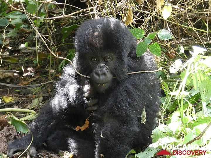 Day 7 - Our mountain gorilla family had a few youngsters, out of which this kid was surely the most active and playful (Photo: Ingrid Smet)