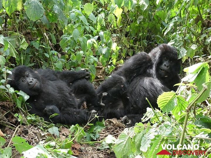 Day 7 - Two mountain gorilla kids not at all minding the small group of humans closeby... (Photo: Ingrid Smet)