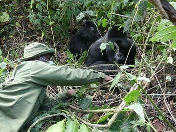 Day 7 - This Virunga National Park ranger has visited this particular family almost every day over the past 2 years and hence knows them well enough to get close by to clear the view for the travelers (Photo: Ingrid Smet)