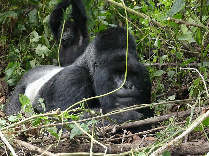 Day 7 - Young mountain gorilla playing on the back of his dad the silverback (Photo: Ingrid Smet)