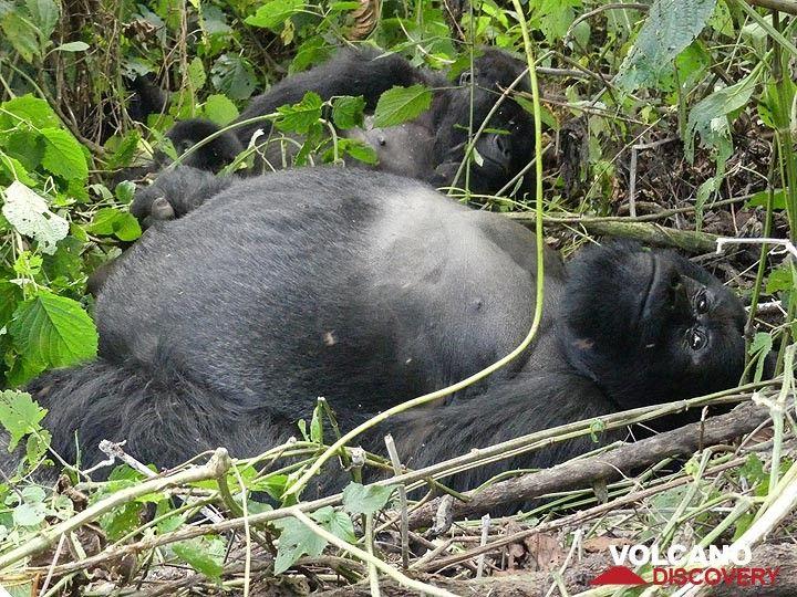 Day 7 - Mother mountain gorilla and father silverback lying around (Photo: Ingrid Smet)