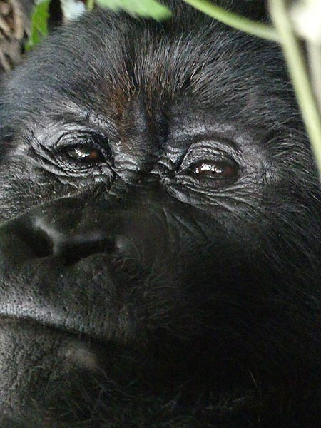 Day 7 - Close up of one of the silverbacks of the family (Photo: Ingrid Smet)