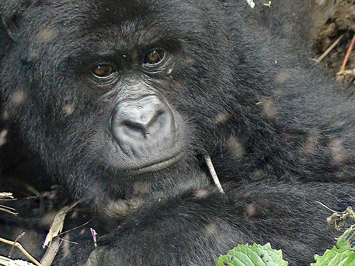 Day 7 - Protrait of a mountain gorilla mother seemingly lost in thoughts (Photo: Ingrid Smet)