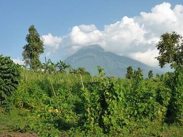 Day 7 - A field of climbing beans with behind it Mikeno´s summit in the clouds (Photo: Ingrid Smet)