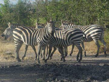 Akagera NP extension - zebras! (Photo: Ingrid Smet)