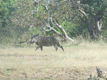 Akagera NP extension - warthog (Photo: Ingrid Smet)