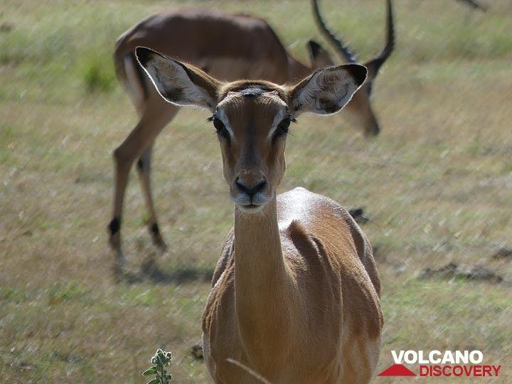 Akagera NP extension - staring female impala (Photo: Ingrid Smet)