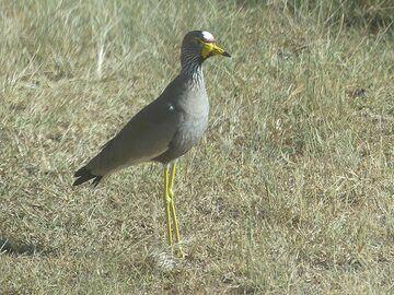 Akagera NP extension - wading bird (African wattled lapwing) (Photo: Ingrid Smet)