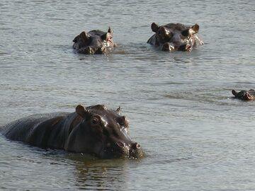 Akagera NP extension - hippos! (Photo: Ingrid Smet)