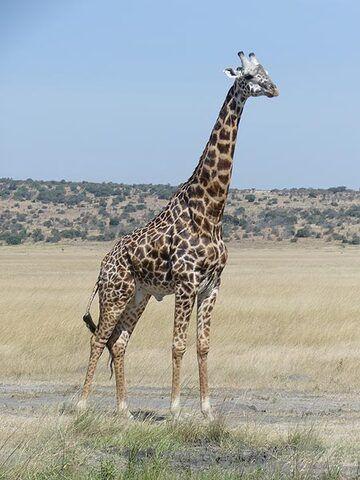 Akagera NP extension - giraffe  (Photo: Ingrid Smet)