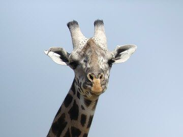 Akagera NP extension - staring giraffe (Photo: Ingrid Smet)