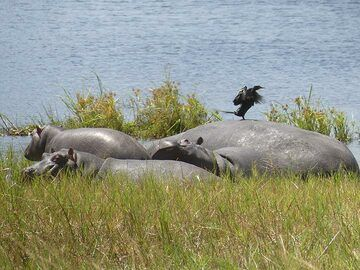 Akagera NP extension - Hippos resting on the land with a wading bird (cormorant) (Photo: Ingrid Smet)