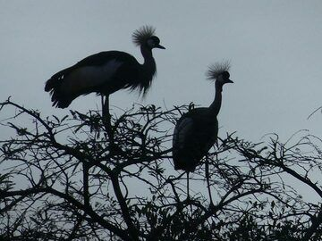 Akagera NP extension - a pair of grey crowned cranes finding a sleeping spot for the night (Photo: Ingrid Smet)