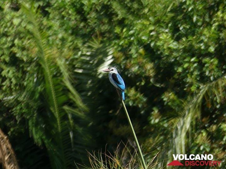 Akagera NP extension - woodland kingfisher (Photo: Ingrid Smet)