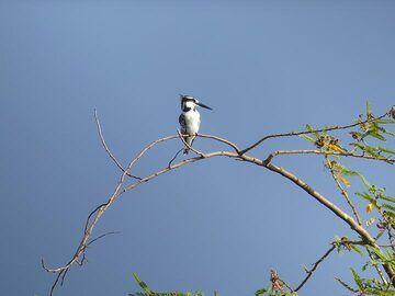 Akagera NP extension - pied kingfisher (Photo: Ingrid Smet)
