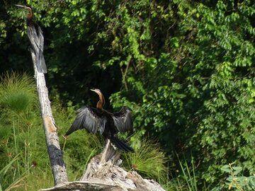 Akagera NP extension - black cormorants (Photo: Ingrid Smet)