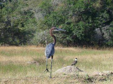 Akagera NP extension - goliath heron (Photo: Ingrid Smet)