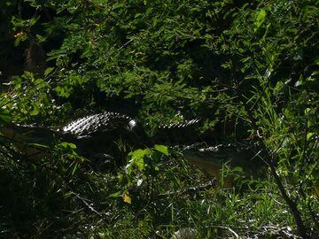 Akagera NP extension - quickly escaping Nile crocodiles (Photo: Ingrid Smet)